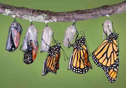 butterfly-chrysallis-row-of-monarchs-copyright-cathy-keifer-istock_000002709202.jpg