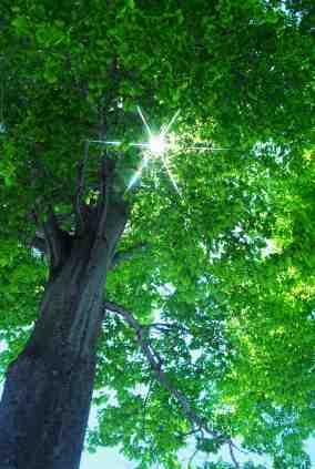 Tree in sunlight copyright_ooyoo_iStock_5889617