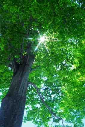 Tree in sunlight copyright_ooyoo_iStock_000005889617