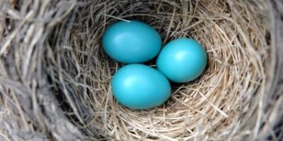 Robin Nest Photo © Linda Kloosterhof iStockPhoto® #208792