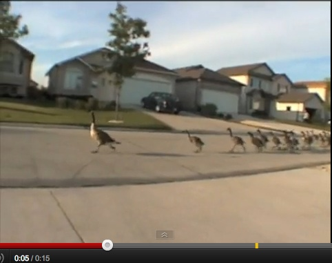 Geese jogging down the road YouTube screenshot